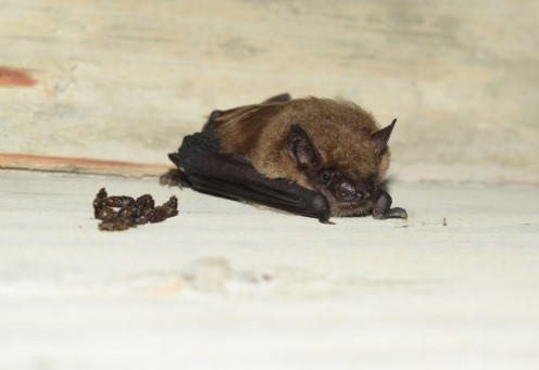 Big brown bat (Eptesicus fuscus) observed on Pier 8 during active work on the St. Croix River Crossing project, Aug. 4, 2016.