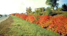 Amur maple along highway