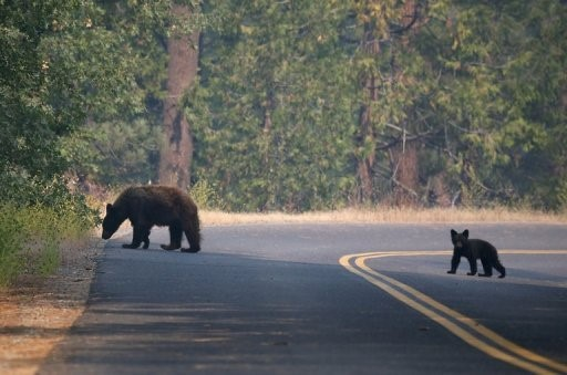 two lane state park road with two bears going across.